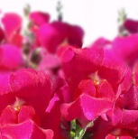 snapdragon showers