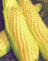 grow your own sweetcorn